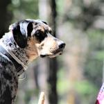Huckleberry Finn, an AMERICAN dog.