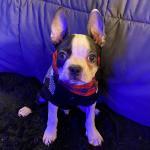 Max the Boston Terrier