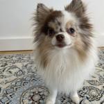 Fiji - Pomeranian happy to help 🐾 🐕🦺