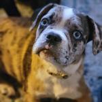 Merle girl with blue eyes PTSD hero