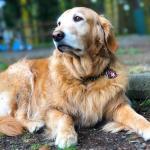Ginger-Bella PTSD Service Dog